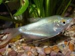 Moonlight Gourami  Photo and care