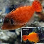 Colored Filefish Marine Fish (Sea Water)  Photo