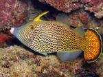 Fantail Orange Filefish Marine Fish (Sea Water)  Photo