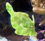 Matted Filefish Marine Fish (Sea Water)  Photo