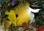 One Spot Foxface Marine Fish (Sea Water)  Photo