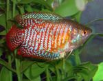 Dwarf Gourami  Photo and care
