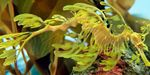 Leafy seadragon Photo and care