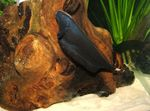Black Ghost Knife Fish Freshwater Fish  Photo