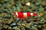Red Crystal Shrimp   Photo