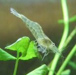 Freshwater Rivers Galicia Shrimp   Photo
