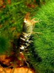 Serrata Shrimp   Photo