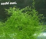 Java moss Photo and care