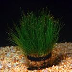 Dwarf Hair Grass Photo and care