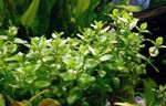 Giant bacopa Photo and care