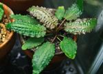 Cryptocoryne affinis Photo and care
