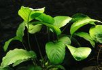 Broad Leaved Anubias Photo and care