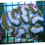Symphyllia Coral Photo and care