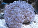 Pearl Coral Photo and care