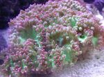 Elegance Coral, Wonder Coral Photo and care