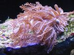 Waving-Hand Coral Photo and care