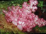 Carnation Tree Coral Photo and care