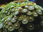 Green Button Polyp   Photo
