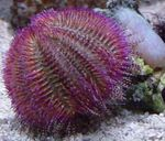 Bicoloured Sea Urchin (Red Sea Urchin) Photo and care