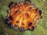 Fire Urchin Photo and care
