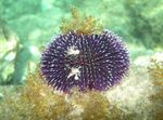 Purple Sea Urchin Photo and care
