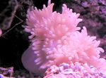Flat Color Anemone Photo and care