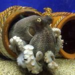 Common Octopuses Photo and care