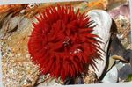 Bulb Anemone Photo and care