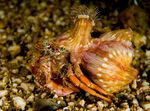 Anemone Hermit Crab Photo and care