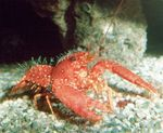 Purple Reef Lobster Photo and care