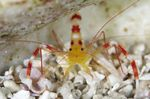 Yellow Banded Coral Shrimp Photo and care