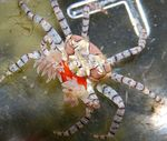Pom Pom Crab Photo and care