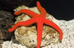 The Luzon Sea Star Photo and care
