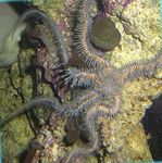 Red Brittle Star (Brittle Sea Star, Knobby Fancy) Photo and care