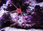 Serpent Sea Star, Fancy Red, Southern Brittle Star Photo and care