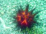 Longspine Urchin Photo and care