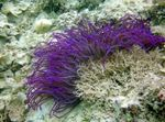 Beaded Sea Anemone (Ordinari Anemone) Photo and care