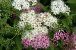 Photo Garden Flowers Bridal's Veil, Spiraea, Steeplebush , white