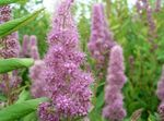 Photo Garden Flowers Bridal's Veil, Spiraea, Steeplebush , lilac