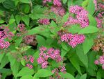 Photo Garden Flowers Bridal's Veil, Spiraea, Steeplebush , pink