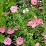 Photo Rock rose, Sun Rose characteristics