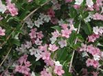 Photo Weigela characteristics