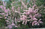 Photo Tamarisk, Athel tree, Salt Cedar characteristics