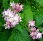 Photo Deutzia characteristics