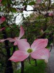 Photo Kousa Dogwood, Chinese Dogwood, Japanese Dogwood characteristics