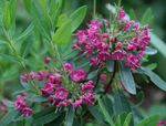 Photo Calico bush, Laurel, Kalmia characteristics