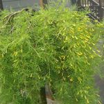 Photo Garden Flowers Peashrub (Caragana), yellow