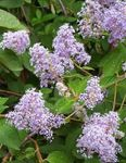 Photo Californian Lilac characteristics