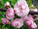 Photo Double Flowering Cherry, Flowering almond characteristics