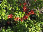 Photo Flowering quince characteristics